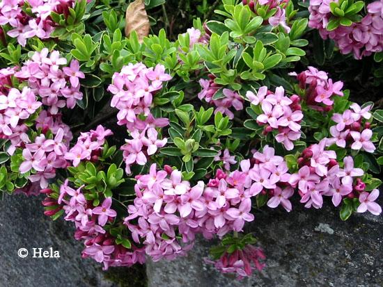 Daphne cneorum variegata
